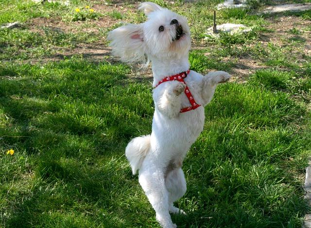 psí tanec